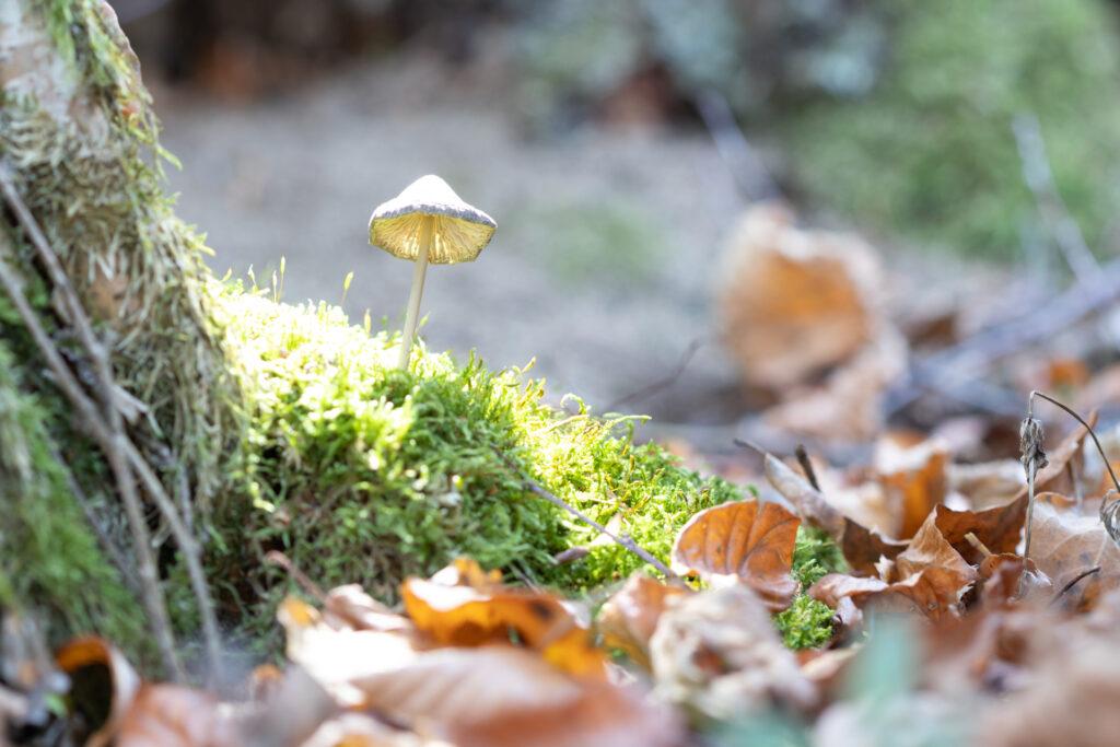 Dernière étape pour photographier un champignon lumineux : le rétro éclairage du chapeau du champignon.